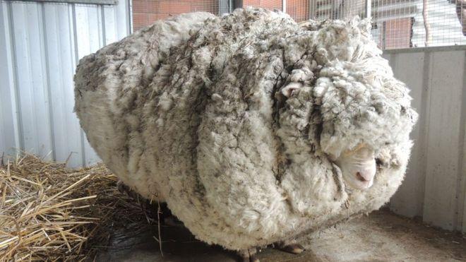 _85337456_chris_the_sheep